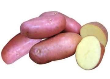 Картофель лапоть описание сорта фото отзывы