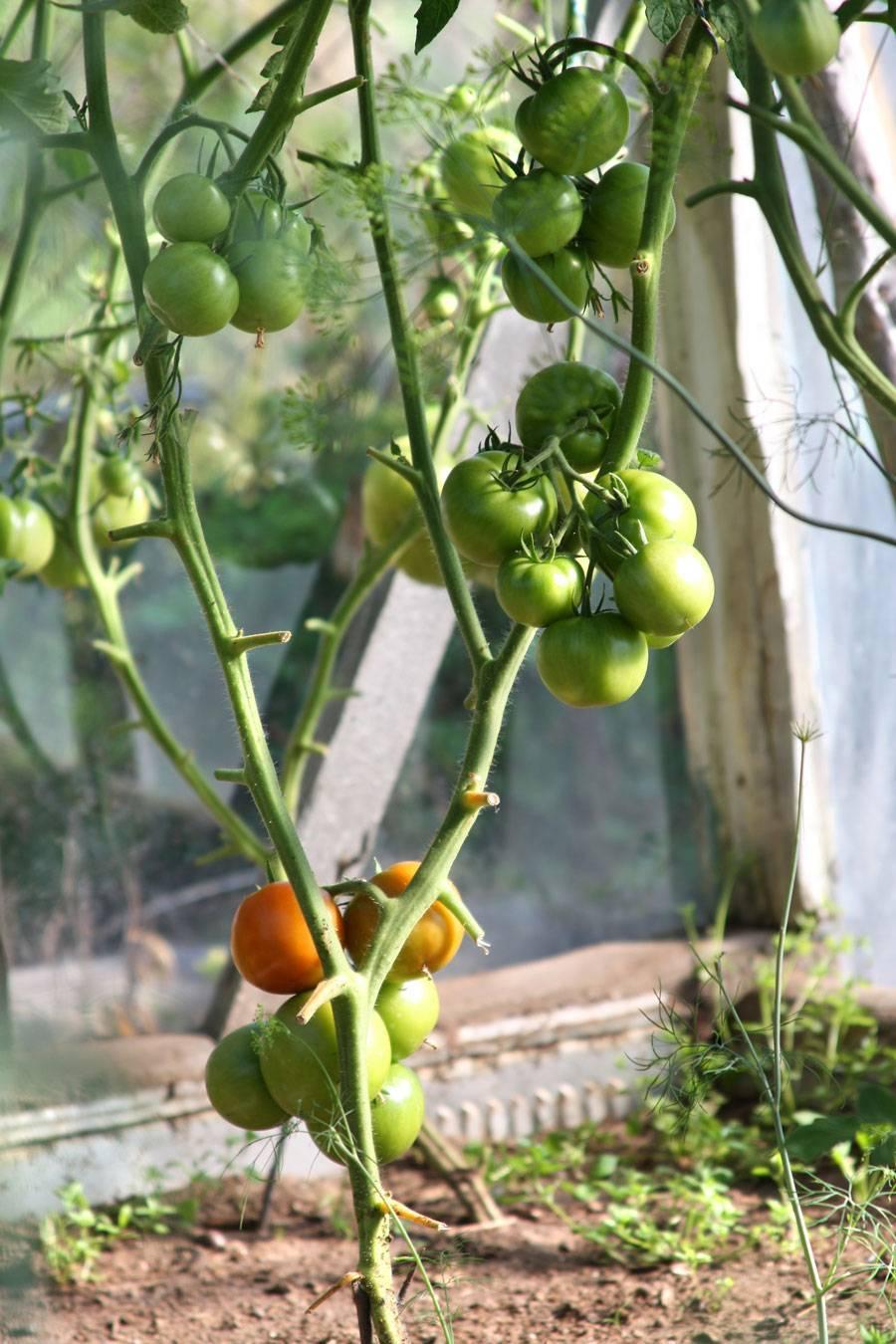 Как бороться с фитофторой на помидорах в теплице народными средствами и фунгицидами
