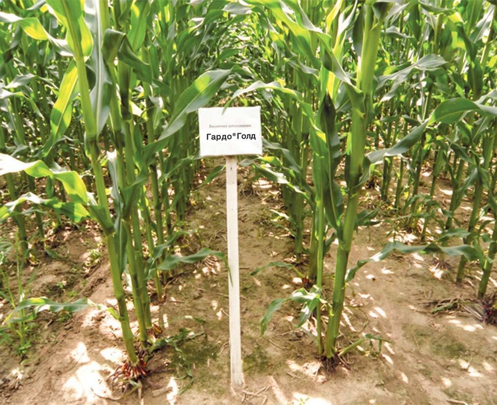 Особенности применения гербицидов на кукурузе от однодольных сорняков