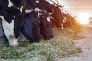 Диктиокаулез у коров: лечение и профилактика