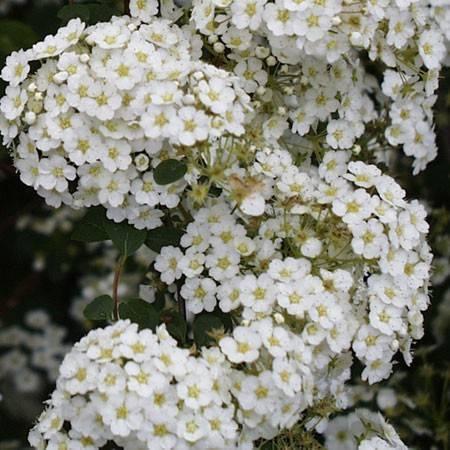 Таволга или спирея: фото и описание кустарника, полезные советы по выращиваю роскошного растения