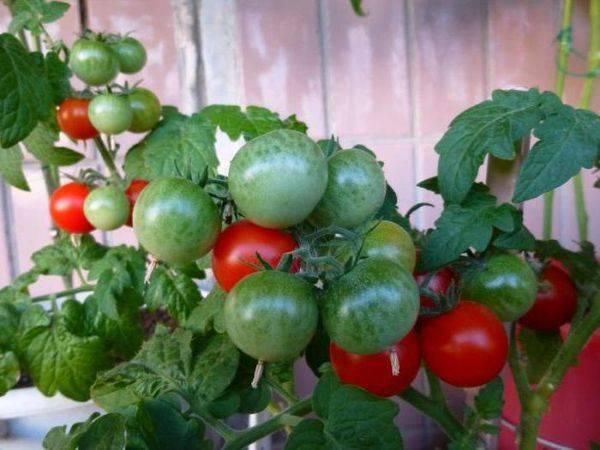 Вкусный и ароматный томат пиноккио: инструкция для выращивания на подоконнике, а также последующий уход