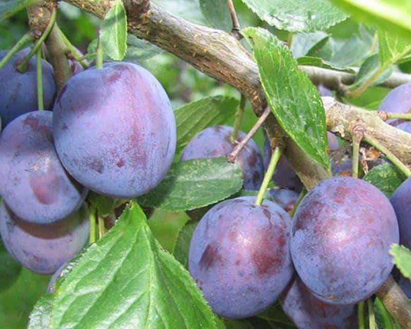 Слива богатырская: сажаем, растим и собираем урожай
