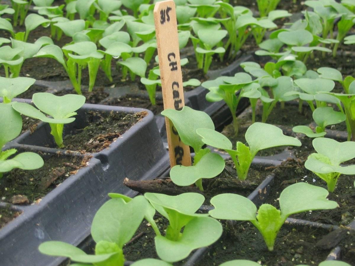 Выращивание пекинской капусты семенами в открытом грунте
