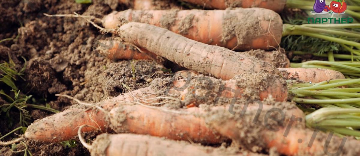 Морковь болеро f1 описание