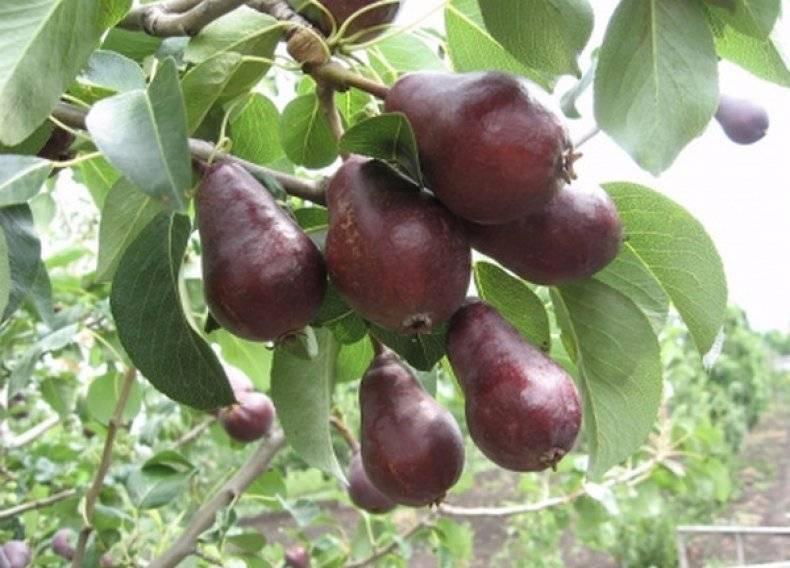 Яблоня старкримсон — описание сорта, фото, отзывы