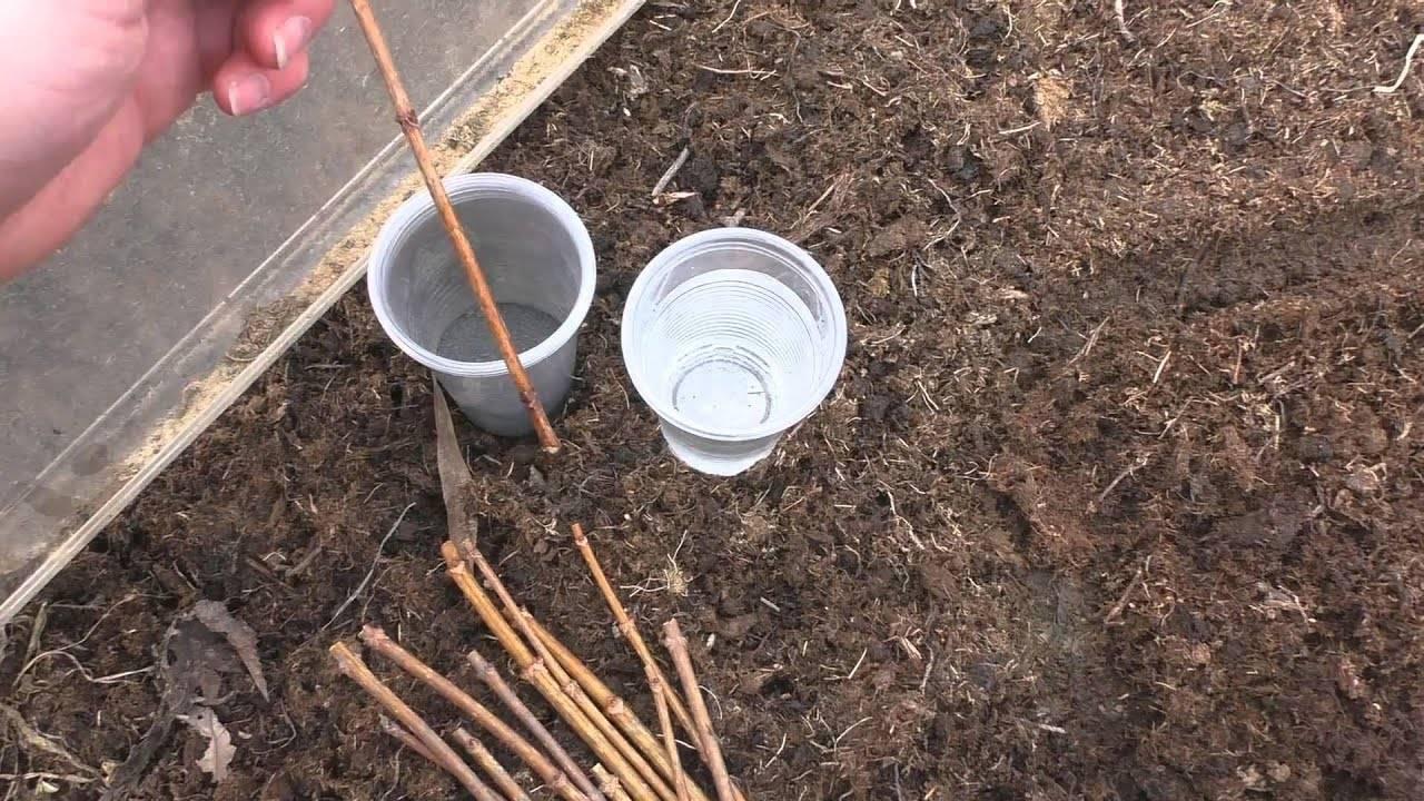 Как размножить гортензию черенками весной
