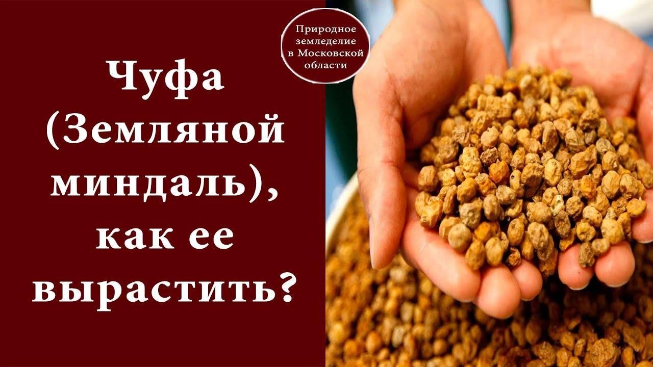 Польза и вред земляного миндаля (орех чуфа)