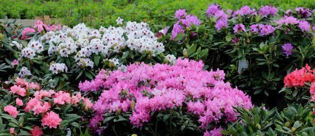 Самое подробное описание рододендрона розеум элеганс: посадка и уход