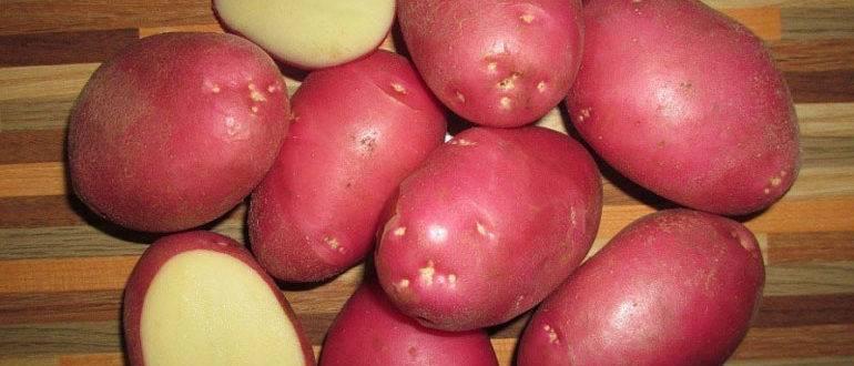 Какого ухода требует картофель роза?
