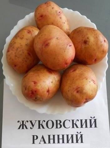Картофель «жуковский»: особенности раннего сорта