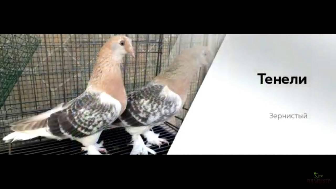 Описание породы голубей касаны: летные свойства, видео и фото пернатых