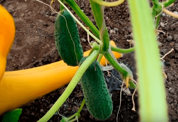 Подкормка огурцов народными средствами. луковая шелуха — простое и надежное средство в огороде
