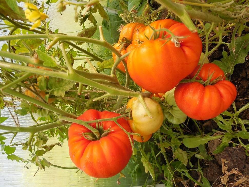 Новейший перспективный сорт, который придется вам по душе — томат «король сибири»:  фото и отличительные черты