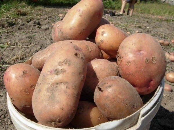 Сорт картофеля славянка: описание и характеристика, отзывы