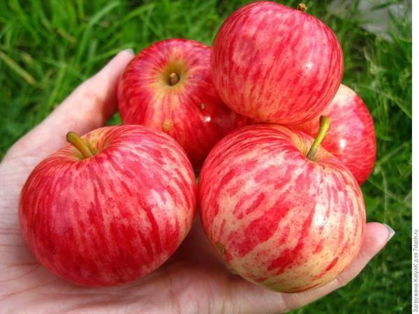 Уникальня по форме и зимостойкости — яблоня ковровое