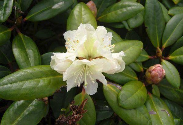 Рододендрон — лечебные свойства, применение и рецепты