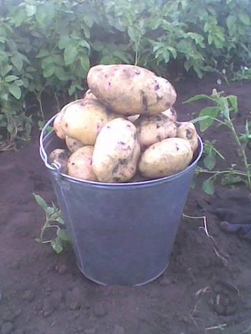 Картофель сорта барон