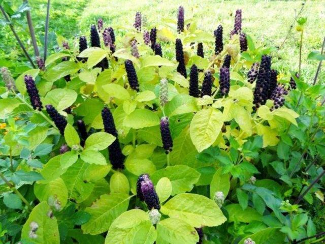 Что лечит трава лаконос – рецепты и варианты использования, полезные свойства и возможный вред