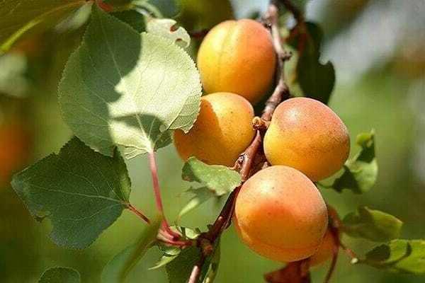 «графиня» — подмосковный высокоурожайный сорт абрикоса