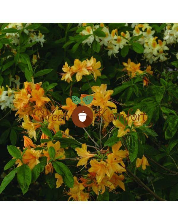 Азалия садовая:  описание, сорта, фото, уход и посадка, болезни и вредители.