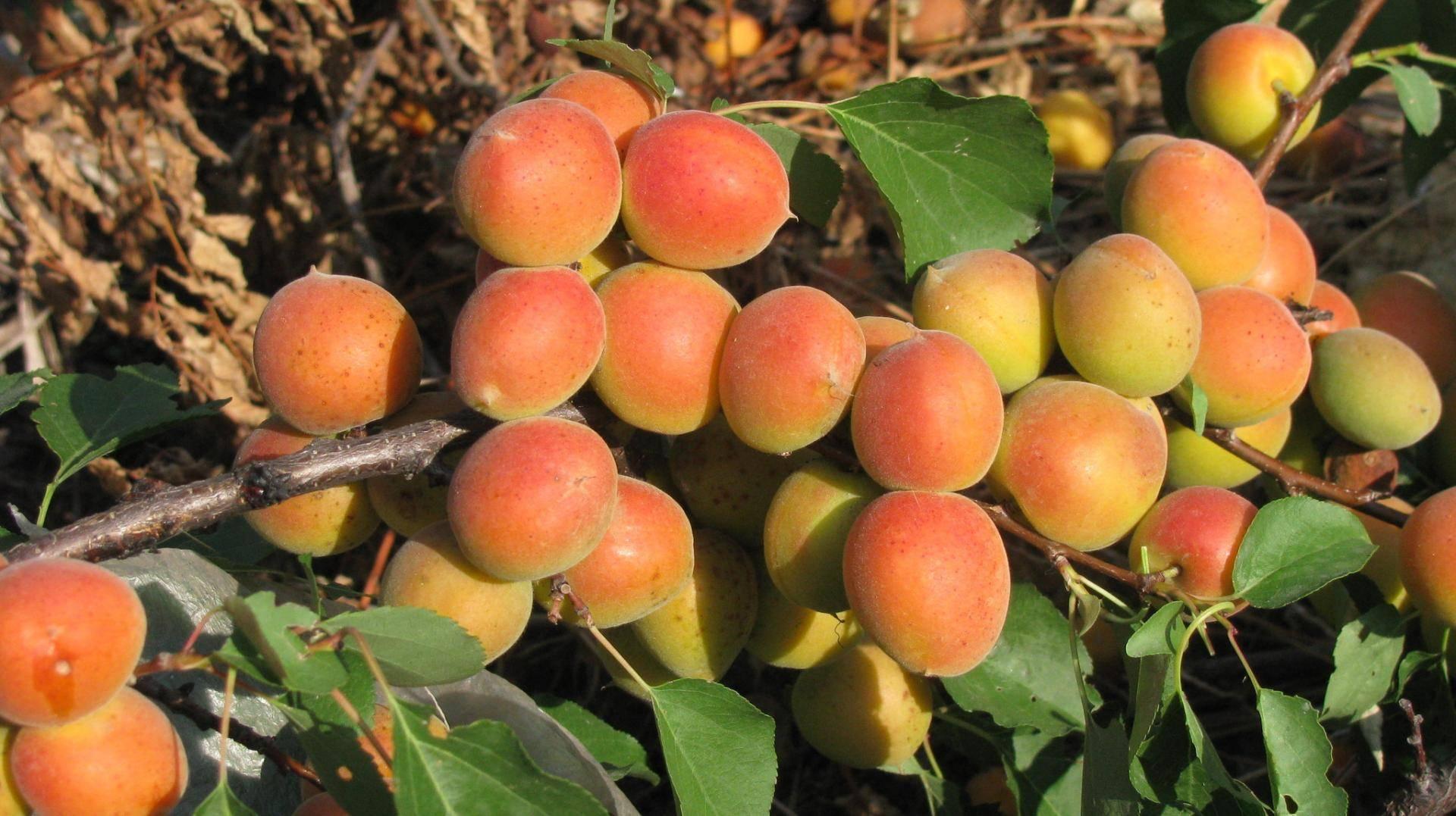 Выбираем сорт абрикоса для подмосковной дачи