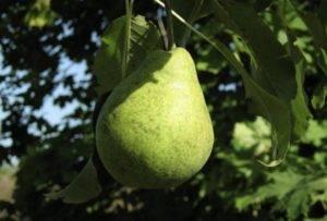 Груша тихий дон: описание сорта и его фото, особенности выращивания и характеристики