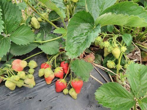 Особенности выращивания клубники «хоней», описание сорта