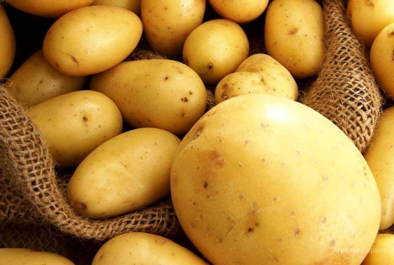 Рагнеда: описание семенного сорта картофеля, характеристики, агротехника