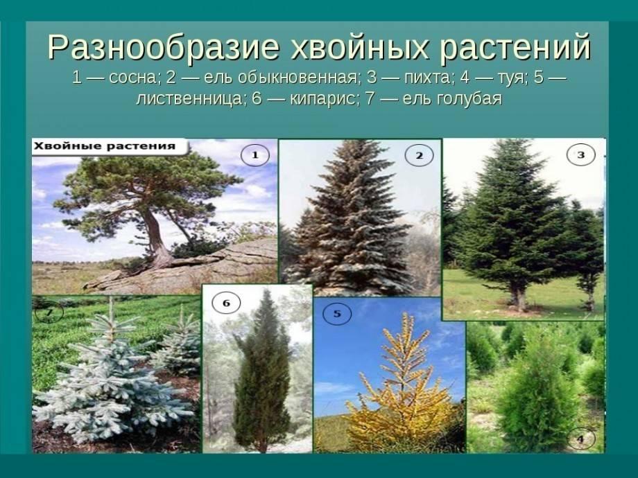 Лиственница даурская: описание вида и применение