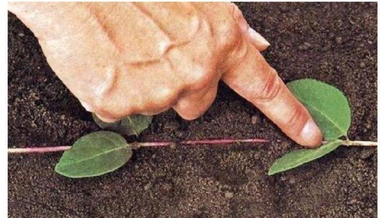 Размножение плодовой жимолость от куста: 4 вегетативных способа