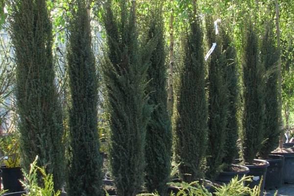 Декоративный можжевельник арнольд — описание и агротехника