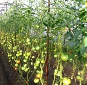 Формирование тепличных томатных кустов в 2 главных стебля: принципы и основные правила