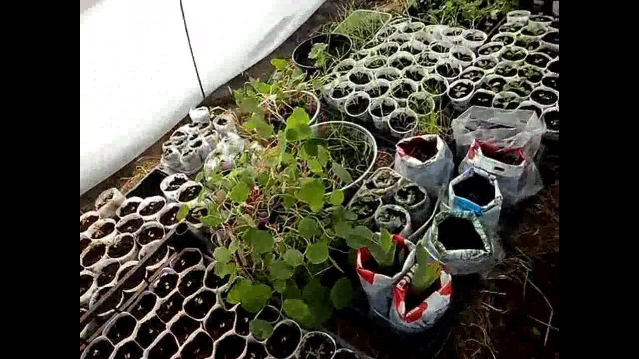 Рододендрон каннингемс уайт (cunningham`s white): описание и фото растения и его подсортов, их декоративные свойства и зимостойкость, а также рекомендации по посадке и уходу