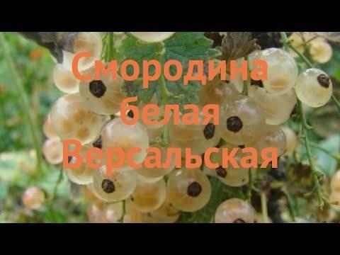Смородина белая версальская — описываем детально