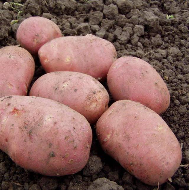 Описание сорта картофеля лабадия