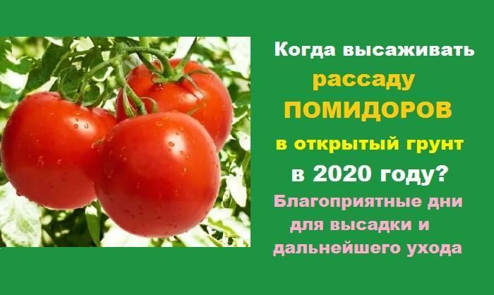 Когда можно сажать рассаду помидор в открытый грунт?