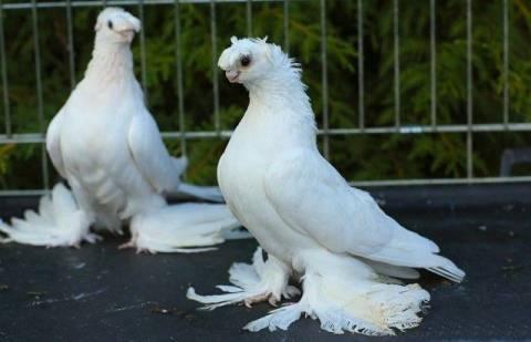 За что ценят породу андижанских голубей - общая информация - 2020