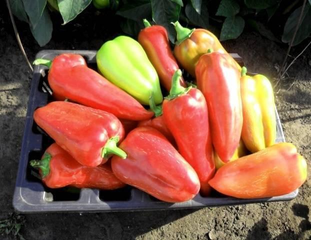 Лучшие сорта перцев для ленинградской области
