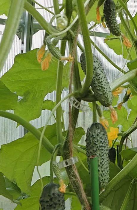 Огурцы шоша – 7 особенностей и 12 советов по выращиванию