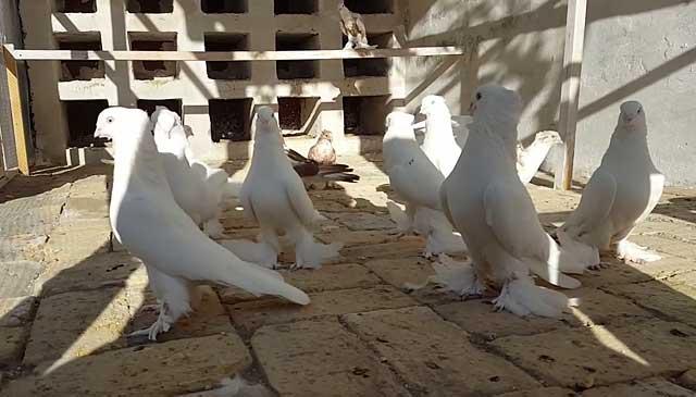 Обзор иранских бойных голубей