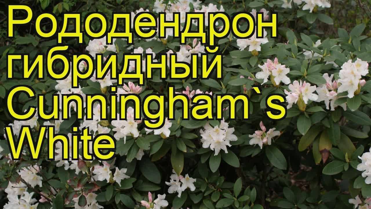 Особенности рододендрона гибридного: описание подсортов, правила ухода и фото растения