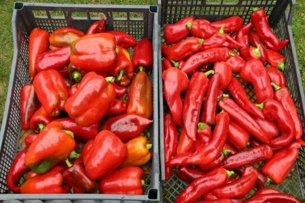 Перец какаду: описание сорта, особенности выращивания