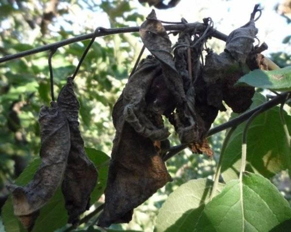 Выбор сорта и выращивание маньчжурского ореха в подмосковье