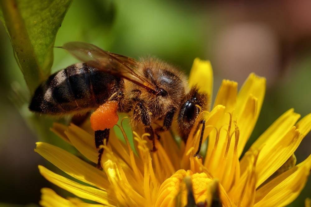 Ужалила пчела что делать опухла рука. укус пчелы или осы опухоль и покраснение что делать. укус женщины в положении.