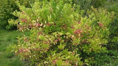 Бересклет бородавчатый (euonymus verrucosus) — описание растения