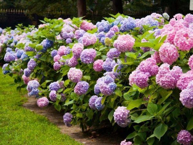 Гортензия Вечное лето: описание, посадка и уход, зимостойкость, отзывы