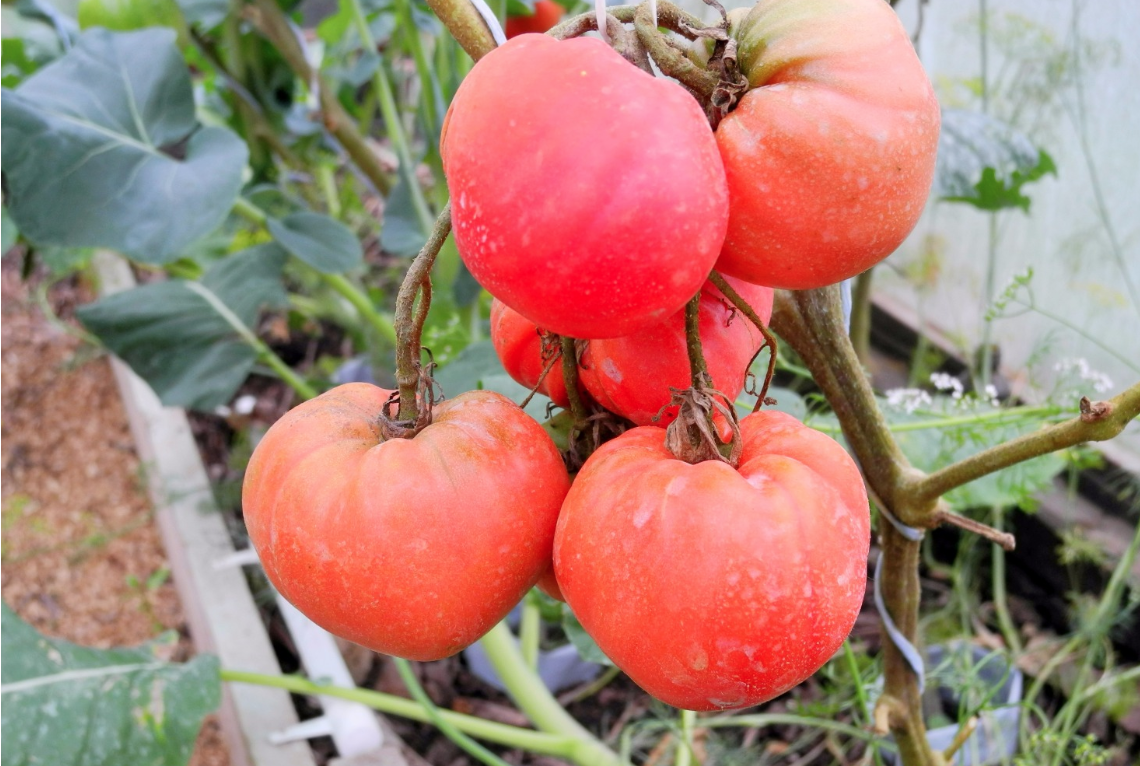Детерминатный сорт томата «фатима»: фото, отзывы, описание, характеристика, урожайность