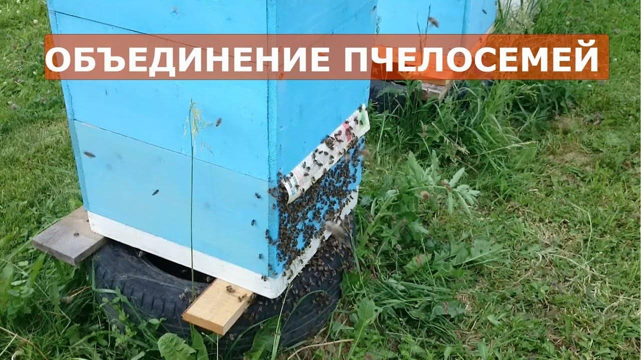 Как правилно объединить пчелосемьи