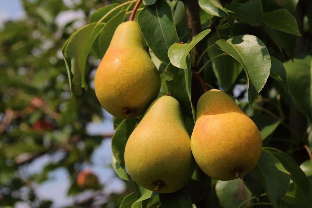 Как вырастить яблоню и грушу из черенка